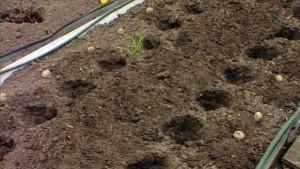 Kartoffel säen und anbauen