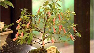 Bonsai arten zimmer und freilandbonsai - Zimmerbonsai arten ...