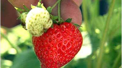 erdbeere-erdbeerrausch-im-kleingarten_doit-tv